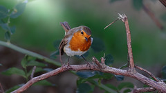 A redbreast / Robin in a forest (Franck Zumella) Tags: robin redbrest rouge red gorge rougegorge bird curious watching eye small petit foret