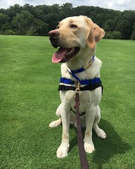 Calvin enjoying the HDI Golf Tournament (hero dogs) Tags: golf tournament dog labrador cute therapydog servicedog