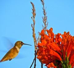 Rufous or Allen's Hummingbird Approaching Flower-7 (chicbee04) Tags: rufousallenshummingbird hummingbird tucson arizona southwesternusa northamerica planetearth birdidentificationhelpgroup bird identification help group hovering feeding