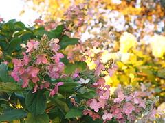 Fin de journe ..... (Lise1011) Tags: nature t summer olympusomd olympus luminosit ambiance mauve fleur flower
