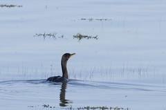 Cormorant on a calm high tide. (Natimages) Tags: cormorant tide hightide calm waterbird nature water birding stlawrenceriver wildbird wildlife pentaxk3 da3004