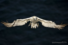 Into the light (Ross Forsyth - tigerfastimagery) Tags: scotland wildlife seabird gannet northerngannet cliffs wings feather landing extended trouphead rspb naturereserve moray morayshire coast nature fantasticwildlife animalplanet