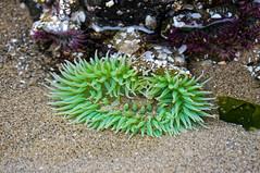 it's not easy... (rovingmagpie) Tags: oregon cannonbeach giantgreenanemone haystackrock anemone green tidepools touregon summer2016