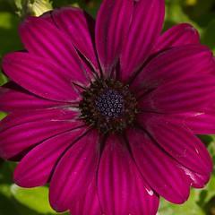 Purple (kristin.mockenhaupt) Tags: nature natur wiese meadow frhling sommer summer spring springtime flower blume bloom blte makro macro