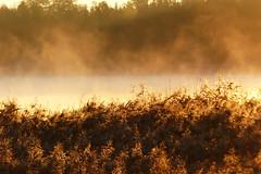 Morning light (evisdotter) Tags: morninglight sunny soligt dimma fog reed vass sooc nature ramsholmen jomala sunrise