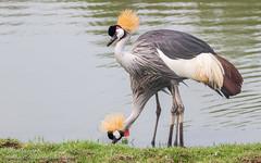 Grey crowned crane (Yasir Subhan) Tags: greycrownedcrane crane largebird waterbird sigma150600mmf563dgoshsm|s canon7dmarkii couple