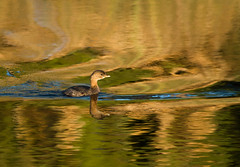 2016-01-19 P8070252 Reflective Pied-billed Grebe [Explored] (Tara Tanaka Digiscoped Photography) Tags: digiscoped digidapter piedbilledgrebe reflection water manualfocus stmarksnwr florida bird golden magical light