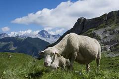 Mont Blanc depuis le lac de Peyre, Haute-Savoie (BELQUENOT) Tags: montblanc hautesavoie lacdepeyre mouton samyang8mm