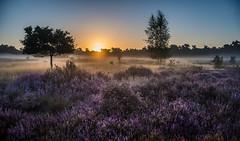 Heating up the heath (Ingeborg Ruyken) Tags: 2016 500pxs drunenseduinen loonseendrunenseduinen dawn dropbox flickr morning natuurfotografie ochtend september summer zomer zonsopkomst