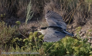 Black crowned Night Heron in flight mallorca
