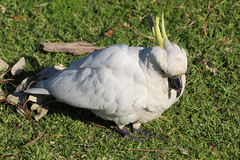 Sulpher Crested Cockatoo (NTG's pictures) Tags: sydney nsw australi the royal botanic gardens birds sulpher crested cockatoo