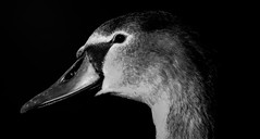 Cygnet portriat in B&W (Phil Everett Photography) Tags: swan cygnet birds nature bw mono portriat