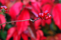Very Berry Red (acwills2014) Tags: red berry berries fall autumn virginiacreeper macro bokeh