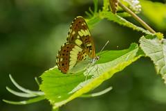 Butterfly (bertrandwaridel) Tags: 2016 chaletgobet etangdelabressonne july labressonne lausanne summer switzerland vaud pond water suisse
