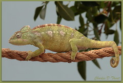 Oustalet's Chameleon (ctofcsco) Tags: usa nature animal animals canon eos is colorado unitedstates mark wildlife 4 explore telephoto 1d co northamerica usm iv 28300mm eos1d superzoom mfcc mark4 f3556l 1div ef28300mmf3556lisusm ef28300mm eos1dmarkiv
