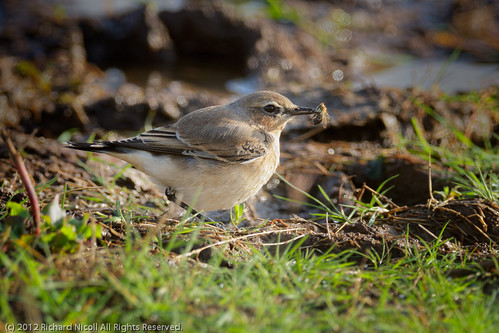 Wheatear (Oenanthe oenanthe) feeding on Bee
