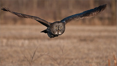 Great Gray Owl in Flight (Raymond J Barlow) Tags: travel ontario canada bird art wildlife ngc adventure owl leamington avian workshops raymondbarlowtours