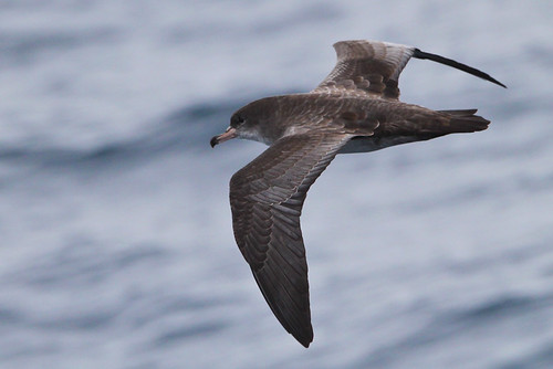 <p>This is a very fresh looking, so recently molted, Pink-footed Shearwater. They breed in Chile, and will be back on breeding islands by October - November. When fresh the secondaries and inner primaries can look more grayish than the coverts, and in some lights the pattern may suggest a Buller's Shearwater. </p>