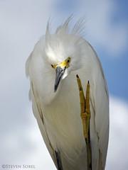 Counting Egret (Steven Sobel) Tags: white bird nature florida wildlife birding egret marineland intracoastal fz150