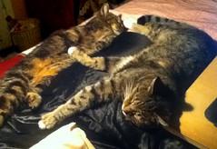 Paul and Beck, next to me in bed and sound asleep (Hairlover) Tags: cats public cat kitten beck kitty kittens kitties kittys agedcat allcatsnopeople threeleggedcatpaul catcatskittykitties 23yearoldcat