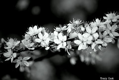 Beauty In Black and White (Lady Of The Hounds) Tags: flowers nature