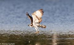 Osprey - Catch of the day (AlonzaGPhoto) Tags: alonza garbett freedomtosoarlevel1birdphotosonly freedomtosoarlevel2birdphotosonly