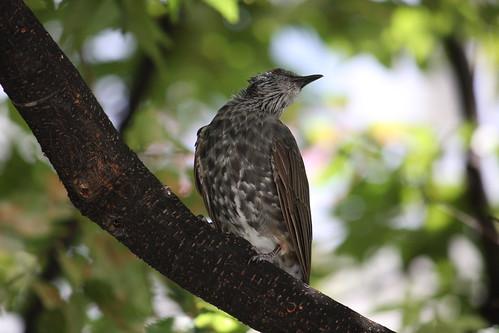 都会に生きる鳥