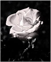 white sun of garden (Gena Golovskoy) Tags: white black monochrome rose russia moscow