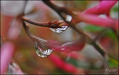♥•••••♥•••••♥ (mutter2009 *OFF*) Tags: flowers macro drops ngc explore coth nikond60 macromarvels alittlebeauty