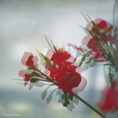 Earth Laughs in Flowers (Gay Foster) Tags: red white reflection window foster geraniums magical brightred gaynell