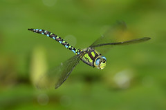 "Blaugrne Mosaikjungfer ""Southern Hawker"" (Aeshna Cyanea) male 8642 (fotoflick65) Tags: detail macro male salzburg green nature closeup fauna bug insect zoo austria flying inflight colorful im leo dragonfly iso400 natur sharp fv10 grn f56 makro libelle insekt 32 bunt mosaik leopold odonata flug bof hellbrunn anisoptera fl300 fliegende aeshnidae mnnchen farbenprchtig aeshnacyanea southernhawker flyingdragonfly blaugrnemosaikjungfer blaugrne mosaikjungfer fliegend 300mmf4d blaugrn flickriver st1000 d7000 groslibelle kepplinger fliegendelibelle mygearandme mygearandmepremium mygearandmebronze mygearandmesilver mygearandmegold mygearandmeplatinum mygearandmediamond y2012 fl250300 st8001600 fotoflick65 ni300 ym09"