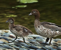 1.5 ducks (Fat Burns) Tags: wood bird duck australian woodduck australianwildlife australianbird australianwoodduck