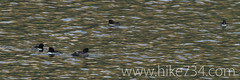 """Barrow's Goldeneye • <a style=""""font-size:0.8em;"""" href=""""http://www.flickr.com/photos/63501323@N07/8048312465/"""" target=""""_blank"""">View on Flickr</a>"""