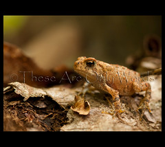 Eastern American Toad (these are only words) Tags: wild ontario canada macro nature forest natural amphibian toad easternamericantoad theseareonlywords