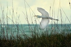 Peaceful (It's a Keeper) Tags: sky beach clouds stpetersburg flying inflight florida bokeh teal peaceful coastal shore elegant 70300mm graceful egret scripture seagrass flyby ftdesoto poetryinmotion itsakeeper philippians467 nikond7000 debbiefrileyphotography dsc4681003134