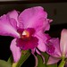 Unknown Cattleya hybrid – Janice Krause