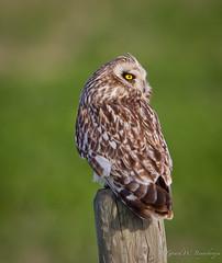Short-eared Owl (Turk Images) Tags: birds alberta seow strigidae shortearedowl asioflammeus