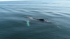 Humpback whale calf (Megaptera novaeangliae) (JRWhitaker1) Tags: canada novascotia whale bayoffundy calf humpbackwhale marinemammal cetacean taxonomybinomialmegateranoveeangliae