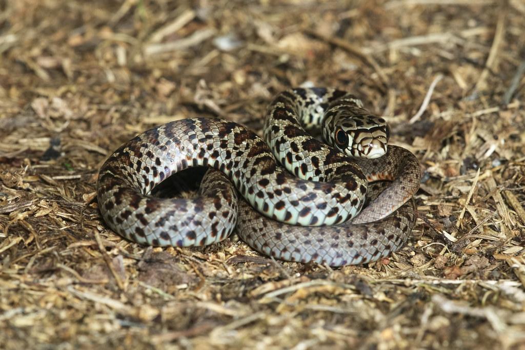 Juvenile Eastern Racer Kaptainkory Tags Usa Baby Black Ar Reptile Snake Unitedstatesofamerica Young