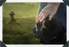 miss you (~ Life As I See it ~) Tags: dog animal puppy labrador retriever hss slidersunday highqualitydogs