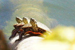 Three Amigo's (jimehle58) Tags: turtles paintedturtles turtlesonlog turtlesinpond