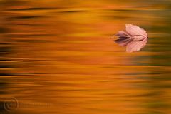 Floating in Fall Flames (MAP93012_781) (maryanne.pfitz) Tags: autumn red orange lake black green fall nature water colors yellow reflections photo leaf patterns mapleleaf wi boulderjunction mothernaturesgreenearth maryannepfitzinger whitesandslakes