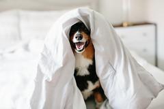 Koda Bear (Brian.Buckler) Tags: dog kodabear pembroke welsh corgi dogs dogphotography dogphotographer brianbuckler canon 5d3 50l bed cute smile tricolor tri color black bokeh
