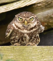 Little Owl (charlie.syme) Tags: little eyes northumberland wildlife nikon