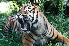 Angry tiger (Soren Wolf) Tags: tiger tigers attack attacking fangs angry animal big cat carnivore outdoor tengah