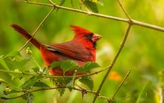 Cardinal (jtorres3993) Tags: cardinal florida birds wildlife red evergladesnationalpark