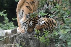 Sibirische Tiger Angara und Ilya im DierenPark Amersfoort (Ulli J.) Tags: zoo niederlande nederland holland netherlands paysbas nederlandene utrecht amersfoort dierenparkamersfoort dierenpark sibirischertiger amurtiger sibirisketiger siberiantiger tigredesibrie tigredelamour siberischetijger amoertijger
