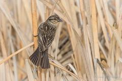 Red-winged Blackbird - Female (Turk Images) Tags: agelaiusphoeniceus redwingedblackbird birds blackbirds breeding burstall icteridae rwbb saskatchewan wetlands prairies