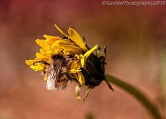 AAB_3457s (savillent) Tags: bee insect flower summer tuktoyaktuk arctic nwt canada nikon august 2016