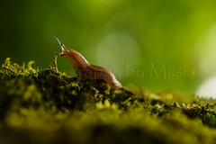 A Moment Like This (TheCozyEscape) Tags: nature macro snail insect animal closeup detail forest moss kiss love tender green earth living plants light lighting bokeh slug cute plant foliage depthoffield texture minimalism environment